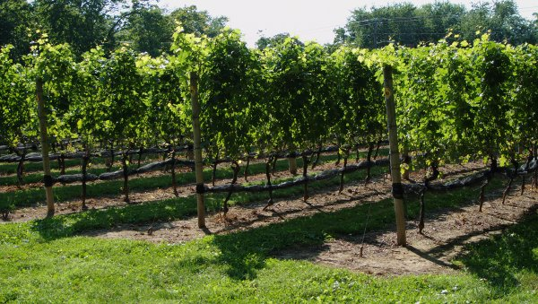 The Old Field Vineyard
